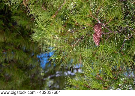 Pine Cones In A Green Pine Tree