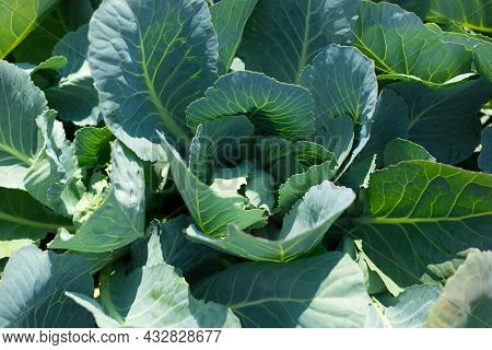 Green Cabbage Grow In The Garden. Agriculture. Healthy Food Concept. The Cultivation Of Plant. Organ
