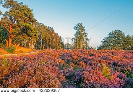 Blossoming heather at the national park de Hoge Veluwe in the Netherlands