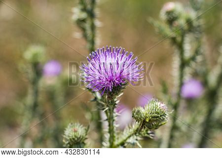 A Blooming Thistle With Pink Flowers, In A Blooming Field