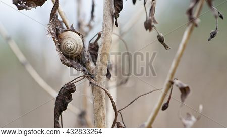 Small Spiral Shell Of Snail On Dried Plant Stem. Snail On Dry Leaves. Beautiful Natural Background.