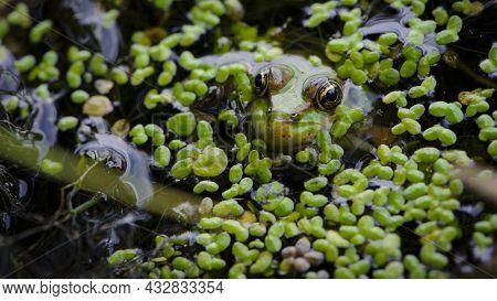 Marsh Frog, Frog Eyes, Pelophylax Ridibundus, In Nature Habitat. Wildlife Scene From Nature, Green A