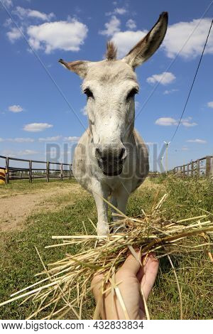 A Small Donkey Is Fed By Hand With Hay On A Farm.