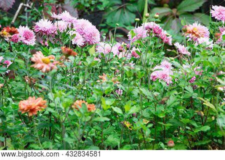 Purple Aster In Garden. Flowering Aster. Autumn Flowers In Garden.