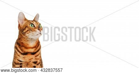 Beautiful Cute Red Green-eyed Ginger Black-striped Pure-bred Bengal Cat On White Background Looking