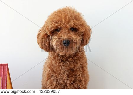 Red Brown Miniature Poodle Muzzle Close-up On A Blue Background