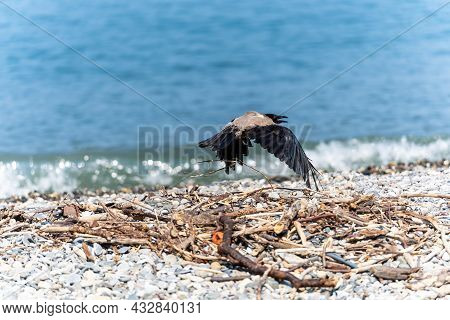 A Crow With An Open Beak Takes Off Over The Shore By The Sea On A Sunny Day. The Background Of The S