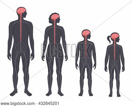 Central Nervous System Diagram. Nerves Send Electrical Signals To And From The Brain And Spinal Cord