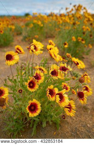Sundance Wild Flower. Sundance Flower In A Meadow.  This Flower Is Also Known As Fire Wheel Flower,