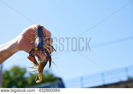 Invasive Species Of Crayfish From Europe. Burgos Spain