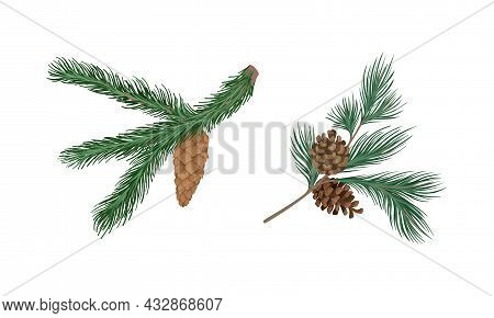 Coniferous Evergreen Tree Branch With Hanging Strobile And Needles Vector Set
