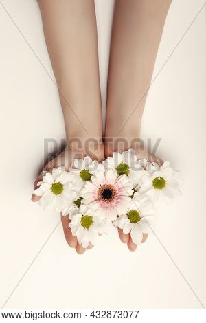 Beautiful Hands Of A Woman Holding A Bud Of A White Chrysanthemum Flower Lying On A White Background