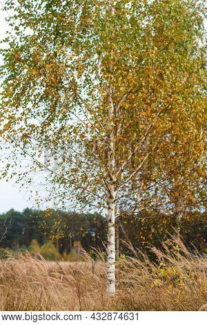 Defocus Birch Tree With Yellow And Green Leaves On Autumn Forest In Background. Late Autumn, Nature