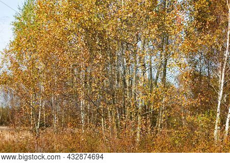Defocus Group Of Birch Trees And Aspen With Yellow Leaves On Autumn Forest In Background. Late Autum