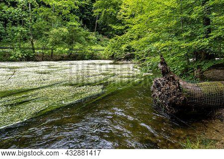 Flowering Plant Of The River Water-crowfoot, Ranunculus Fluitans In River Wuerm, Leutstetten Near St
