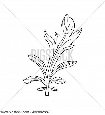 Cornflower Centaurea Cyanus, Medicinal And Honey Plant.
