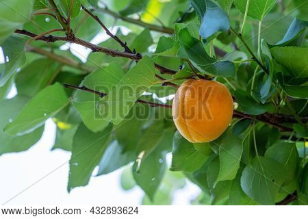 Ripe apricot fruit between green foliage of apricot tree.
