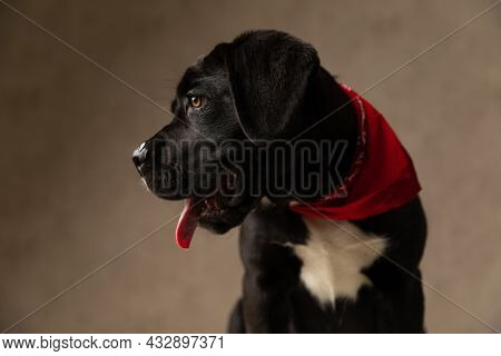 adorable cane corso puppy wearing red bandana and looking to side, panting and sticking out tongue on brown background in studio