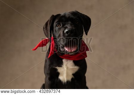 happy cane corso dog wearing red bandana around neck, panting and sticking out tongue on brown background in studio