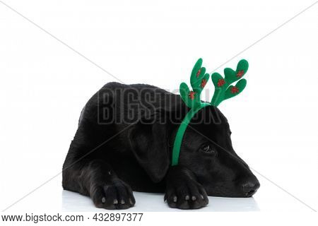 adorable labrador retriever dog resting his head on his paws and wearing reindeer horns against white background