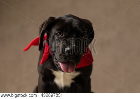 lovely cane corso dog with red bandana around neck panting and sticking out tongue while sitting on brown background in studio
