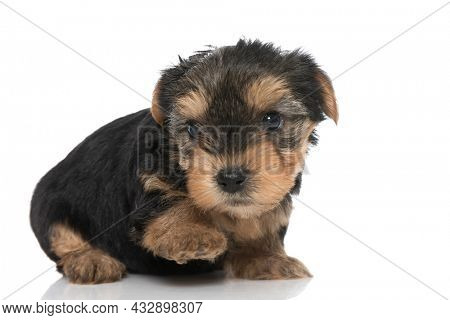 side view of a cute yorkshire terrier dog laying down with one paw up against white background