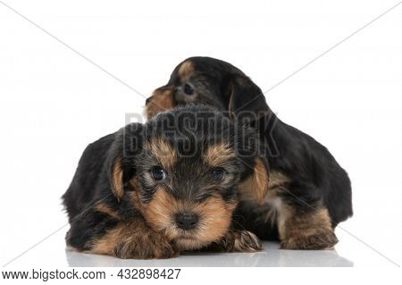 two sweet yorkshire terrier dogs cuddling and looking to side on white background