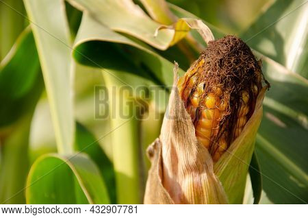 Cob Of Ripe Yellow Corn On Green Corn Field With Copy Space. Harvesting And Agriculture Concept. Cor