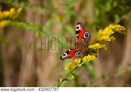 Fragile Beautiful Inachis Io. Peacock Eye Butterfly Sits On Yellow Wildflowers With Copy Space. Natu