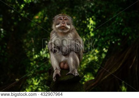 Male monkey (macaca fascicularis) sitting on the tree