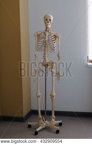Anatomical Model Of The Human Skeleton In The Classroom