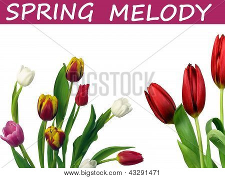 Spring melody of tulips