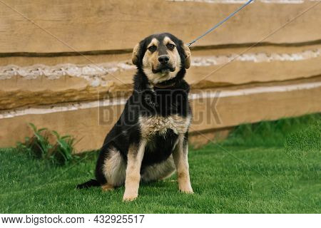A Smiling, Playful Black-and-red Mixed-breed Dog In The Yard Of The House On A Leash Enjoys A Walk