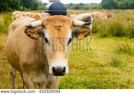 Group Adult Brown Limousin Cow With Herd Of Young Gobies And Cattle Pasture In Brittany, France. Agr