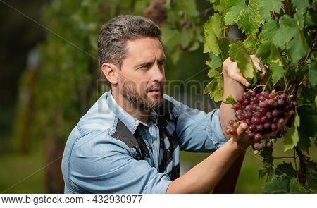 Harvester Picking Up Grapevine Fruit Grapes, Farming