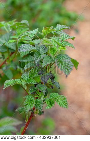 Raspberry Leaves. Young Green Branch Of Raspberry Bush In Spring In Bright Daylight Against Backgrou