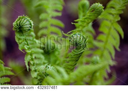 Young Fern Leaves. Rolled Up Bright Green Leaves Of Brackens Bush Close Up On Warm Spring Morning In