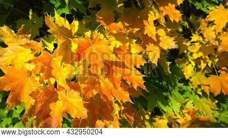 Golden, Yellow, Orange, Rusty And Green Maple Leaves Background. Autumn Leaf Color. Fall. Beauty In