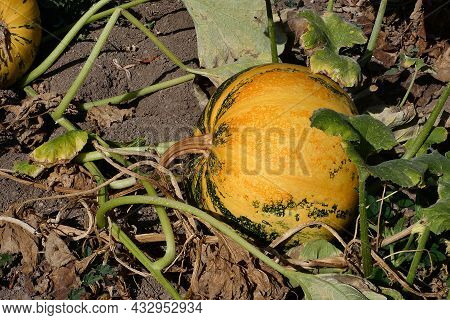 Pumpkins Ripening In A Pumpkin Field, Pumpkins Ready To Be Harvested, Pumpkins Planted For Seeds,
