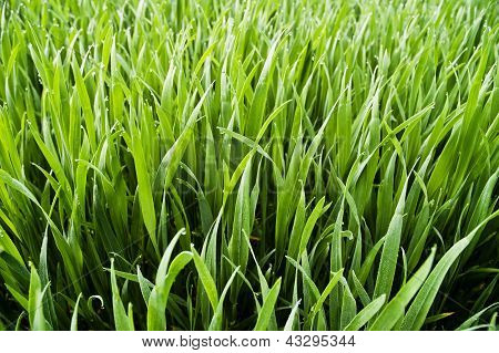Wheatfield - Juicy Green Grass With Dew Drops
