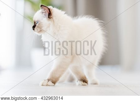 Adorable fluffy white ragdoll cat standing on the floor in light room with daylight and looking back with blue eyes. Lovely cute purebred feline pet outdoors with blurred background