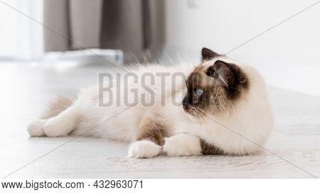 Adorable ragdoll cat with beautiful blue eyes lying on the floor at home and looking back. Closeup portrait of breed feline pet indoors. Beautiful purebred domestic animal