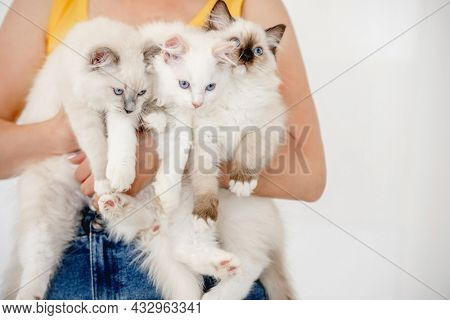 Owner holding three fluffy ragdoll cats in her hands. Girl with domestic furry purebred feline pets with beautiful blue eyes