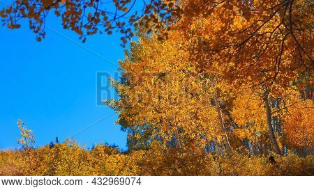 Bright yellow Aspen trees in autumn time against blue sky.
