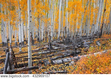 Row of colorful Aspen trees during autumn time in Colorado