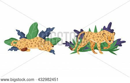 Spotted Leopard Or Jaguar With Yellow Skin Standing And Lying In Tropical Leaves Vector Set