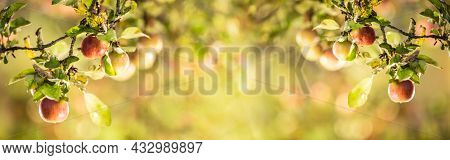 Ripe Apples On The Branches Of An Apple-tree. The Concept Of Harvesting Apples - Panoramic Banner.