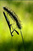 shadow mantodea close up of wild side of praying mantis on a green brown branch in the flowering bush poster