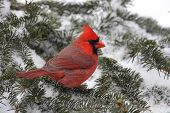 Male Northern Cardinal (cardinalis cardinalis) on a Spruce branch covered with snow poster