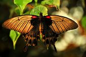 Grand mormon (papilio memnon) butterfly resting with semi-transparent wings poster